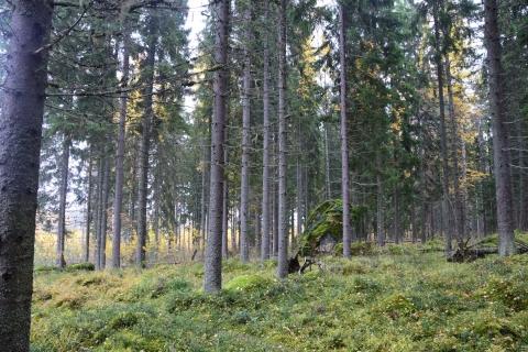 Kuusivaltaisilla alueilla näkyvyyttä voi olla pitkällekin. Maapohja on paikoin kivikkoista.